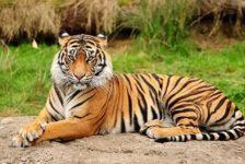 Пекинның Бадалин паркында тигр хатын-кызга ташланган [видео]
